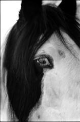 Eye contact with an horse (Rachelnazou) Tags: caffenol blackwhite analog argentique horse film ilford minolta