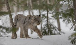 Lynx du Canada  -  Lynx Canadensis