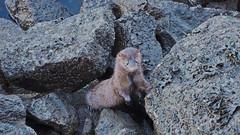cute little mink... (heinz41) Tags: epl7 olympus lumix35100mmf456 panasonic mink coalharbour winter vancouver