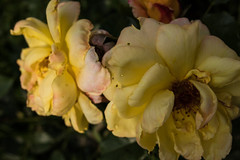 jdy151XX20170531a5947Bias-2.3 stops.jpg (rachelgreenbelt) Tags: orderrosales usa eudicots greenbelt northamerica midatlanticregion coloryellow rosids rooseveltcenter colorswhiteyellowgreen maryland americas familyrosaceae midatlantic princegeorgescounty oneplant singleplantportrait rosayellowdouble