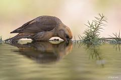 _SEN7511-E (Sento74) Tags: piquituerto loxiacurvirostra aves birds fauna tamron150600g2 nikond500