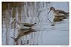 Chevalier aboyeur (C. OTTIE et J-Y KERMORVANT) Tags: nature animaux oiseaux limicoles chevalier chevalieraboyeur finistère finistèrenord bretagne france