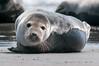 Blickkontakt (jwfoto1973) Tags: kegelrobbe halichoerus grypus gray seal helgoland wildlife tiere animal deutschland germany norddeutschland nordsee northsea johannes weyers d300 nikon natur
