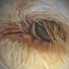 """The car goes where the eyes go.""  ― Garth Stein, The Art of Racing in the Rain (katerha) Tags: fiction macromondays myfavouritenovelfiction artofracingintherain eye dog labradoddle dogeye"