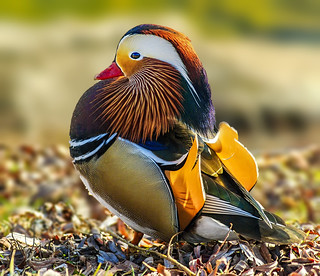 Mandarin duck 2