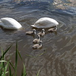 Mute Swans up-ending, with chicks thumbnail