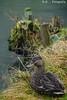 Ente / Duck (R.O. - Fotografie) Tags: ente duck natur nature wasser water wasservogel waterbird winter bad meinberg park animal tier vogel bird rofotografie nrw outdoor closeup close up see lake pond panasonic lumix dmcfz1000 dmc fz1000 fz 1000
