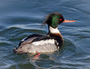 Like my Mohawk? (tresed47) Tags: 2018 201801jan 20180126newjerseybirds barnegatlightsp birds canon7d content ducks folder january merganser newjersey peterscamera petersphotos places redbreastedmerganser season takenby us winter ngc