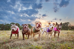 Forever Five (adventuredogphoto) Tags: dog blueamrich beyondthefence adventuredogphotography dogphotographer dogphotography dogportrait pitbull pitbullterrier bullterrier manydogs packofdogs groupofdogs sunset park field bandana