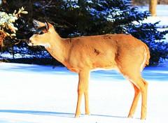 white-tailed deer doe at Lake Meyer Park IA 854A0574 (lreis_naturalist) Tags: whitetailed deer doe lake meyer park winneshiek county iowa larry reis
