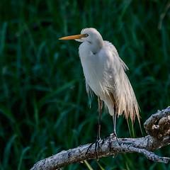 Bedraggled (gecko47) Tags: egret heron intermediateegret ardeaintermedia perched branch lagoon sandycamprdwetland breedingplumage bedraggled lytton brisbane waterbird wader