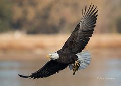 Super Bowl Champs! (Rick Derevan) Tags: atascaderolake baldeagle bird eagle fish prey raptor haliaeetusleucocephalus flight flying ngc