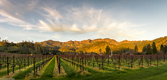 Sunset Lit Mountains (allentimothy1947) Tags: california napacounty wine winter bare landscape mustard vines vineyars mountains sunset sky clouds blue green yellow red trees beauty beautiful rural goldenhour