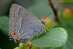 Favonius quercus - the Purple Hairstreak (BugsAlive) Tags: butterfly mariposa papillon farfalla schmetterling бабочка conbướm ผีเสื้อ animal outdoor insects insect lepidoptera macro nature blue lycaenidae favoniusquercus purplehairstreak theclinae alnersgorsenr wildlife liveinsects dorset uk bugsalive