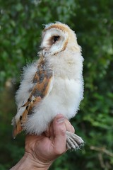 Ringing the Owls (Dom's Photo's) Tags: barn owl barnowl owlet bird wildlife nature down fluffy young wildlifephotography naturephotography birdphotography feathered winged