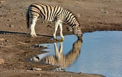 Burchell's Zebra - Etosha National Park, Namibia. (One more shot Rog) Tags: burchellszebra burchells zebras zebra wildebeest giraffe waterhole etosha etoshanationalpark waterholes animals nature namibia wildlife stripes roger sargent photographyone more shot rog safari