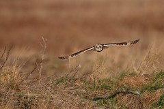 Short-eared owl (Andy Davis Photography) Tags: asioflammeus owl hunting perched flight landing marsh estuary coast winter canon