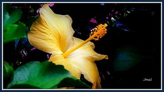 Hibisco Amarelo -  Chinese Hibiscus (Jmal,) Tags: beleza delicada suave durante era vitoriana o hibisco só tinha um sentido delicadabeleza é também significado que continua está sendo usado até hoje representa virtude e avidez sugere agarrese à tua boasorte amarelo chinese hibiscus
