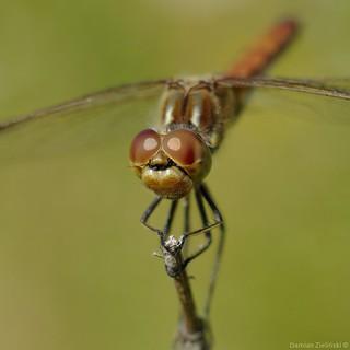 Szablak zwyczajny (Sympetrum vulgatum) - samica/female