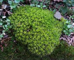 csillagok (kakasarp/kuklops) Tags: csillagmoha szálkászöldhúr subulata saginasubulata