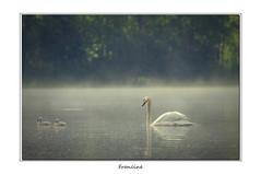IMGP0423 (Francinen89) Tags: cygne étang lac lake brume fog eau water ambiance h