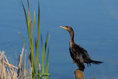 Double-crested Cormorant (linda m bell) Tags: pradoregionalpark 2018 birdwatching chino prado birds california socal doublecrestedcormorant