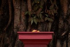 mangalore_DSC04591_1 (ghoermann) Tags: geo:lat=1304490756 geo:lon=7487053270 geotagged ind india karnataka kateel tree holy