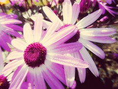 Purple beauty (jackyjulyan) Tags: flowers petals purple daisy daisies nature colour vibrant