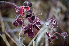 Bramble leaves in winter (STE) Tags: foglie rovo bramble leaves inverno winter freddo cold frost frosty helios