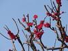 紅梅 Red plum blossoms (nofrills) Tags: flora floral blossom blossoms winter spring plum plums plumblossom tree trees urbannature urbantree 梅 ウメ 紅梅 red pink japan prunusmume