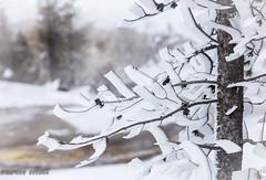 Accordian Folds (maureen.elliott) Tags: frost tree treebranch nature winter yellowstonenationalpark wyoming winterart closeup