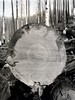 1941. Cross-section of fire-killed Douglas-fir. End of log 1; 60 feet from base. Gallery 6.5 inches deep; sap approximately 2.5 inches. Deterioration studies. Tillamook Burn, Oregon. (USDA Forest Service) Tags: usda usfs forestservice stateandprivateforestry foresthealthprotection region6 r6 forestinsectinvestigations forestentomology firekilled douglasfir crosssection fire tillamookburn oregon log1 deterioration study robertlfurniss rlfurniss bureauofentomologyandplantquarantine bepq f836 1941