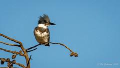 Belted Kingfisher (m) (Bob Gunderson) Tags: beltedkingfisher birds california megacerylealcyon northerncalifornia pigeonsdovesparrots santaclaracounty shorelinelake southbay