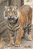 Nelson (ToddLahman) Tags: sumatrantiger tiger tigers tigertrail teddy joanne beautiful mammal male portrait canon7dmkii canon canon100400 closeup escondido eyelock exhibita sandiegozoosafaripark safaripark nelson