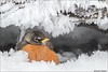 American Robin in Secret Crystal Cave. (Daniel Cadieux) Tags: robin americanrobin winter cold snow ice frost hoarfrost crystals icicles cave cavern ottawa