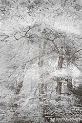 The Wonderland (Michiyo Photo) Tags: wonderland fantasy winter snow land cold imagination angel heaven feather tree trunk infrared different landscape nature natural 2013 summer