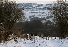 Zoz enjoying his morning walk (A child in the night) Tags: zoz zorro bordercollie cheshire theedge red sheepdog joy walk penguincafe england hills
