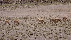 159 Vicuñas, Miscanti (roving_spirits) Tags: chile atacama atacamawüste atacamadesert desiertodeatacama désertcôtier küstenwüste desiertocostero coastaldesert