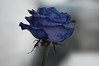This bizarre secret is also yours (oskaybatur) Tags: rose blue bluerose 2018 oskaybatur homemade closeup macro dof waterdrops pentaxk3 pentaxart justpentax flower winter january samyang100macro mf türkiye turkey turkei