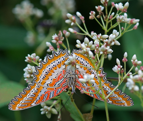 Red Lacewing 2