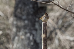 Song Sparrow on a Stick (brucetopher) Tags: bird birds sparrow songsparrow song stake stick post bokeh watch