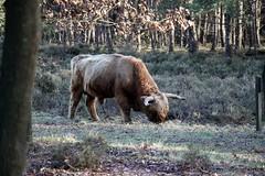 (Uno100) Tags: schotse hooglander scottish highlander cow bull koe veluwe zoom posbank