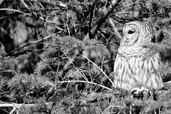 Barred Owl, again (karma (Karen)) Tags: baltimore maryland home backyard birds barredowl monochrome bw dof bokeh hmbt topf25 cmwd