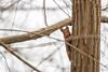 Ecureuil (Sciurus vulgaris) (aurelien.ebel) Tags: alsace animal basrhin ecureuil ecureuilroux eurasianredsquirrel france lawantzenau mammalia mammals mammifère rodentia rongeur sciuridae sciuridé sciurusvulgaris