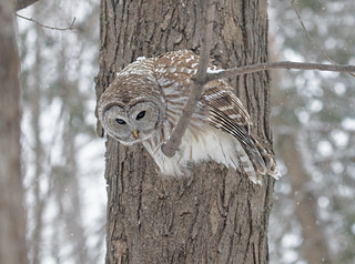 Owl getting a bead on prey (See Large)