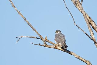 Peregrine Falcon #6