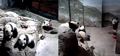 Bei Bei (What's that term that humans use–a watched door never opens?) 2018-02-17 at 7.08.06–25.13 AM (MyFoto:)) Tags: ccncby panda cub endangered vulnerable beibei smithsonian nationalzoo climbing standing waiting