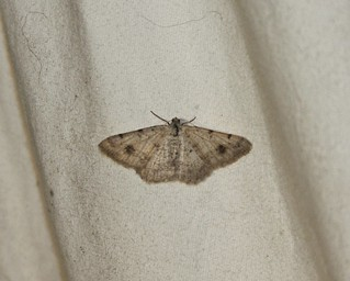 6413 Rindgea subterminata, Moth