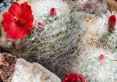 IMG_0375 (melaniemarie83) Tags: cactus cacti succulent flower desert southwest arizona park nature natural outdoors plant red green white yucca yellow flowers floral bloom blooming blossom blossoming