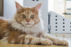 Orion and his mane (Tambako the Jaguar) Tags: cat domestic mainecoon male young red orange brown tabby lying resting posing portrait mane paws zürich switzerland nikon d5